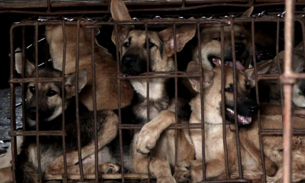 10-day annual dog meat festival begins in China!